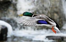 鸭子飞行 图库摄影