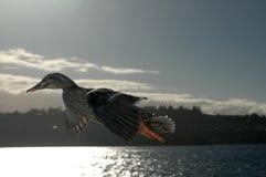 鸭子飞行 库存图片