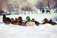 鸭子鸟Winter湖雪背景 免版税库存图片