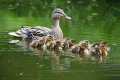 鸭子鸭子她的母亲 免版税库存图片