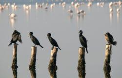 鸭子,苍鹭海反射自然自然 库存图片