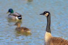 鸭子,鸭子,观看作为两只野鸭的鹅加拿大鹅游泳a 免版税库存图片