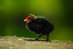鸭子年轻人  布朗与黄色和红色票据共同的雌红松鸡,波尔菲里奥martinicus的水禽,走在草 免版税库存图片