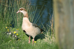 鸭子系列 库存照片