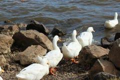 鸭子去前进 免版税库存图片