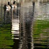 鸭子结合并且浇灌反射 库存照片