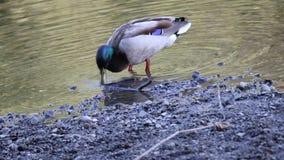 鸭子 河边区地方公园,索诺马酒乡,加利福尼亚 股票视频