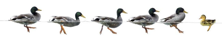 鸭子阻碍一个小组鸭子 库存照片