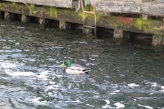 鸭子水禽 库存图片
