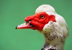 鸭子画象 免版税库存图片
