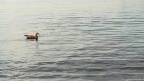 鸭子 股票录像