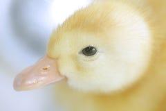 鸭子 图库摄影