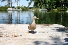 鸭子3 库存图片