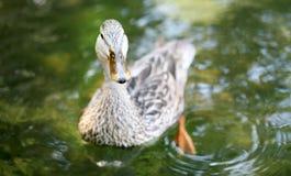 鸭子4 库存图片