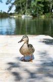 鸭子5 免版税图库摄影