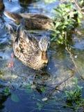 鸭子1 免版税库存照片