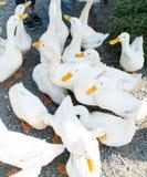组鸭子 库存图片
