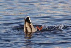 鸭子水 免版税库存图片