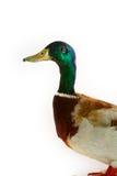 鸭子头 库存图片