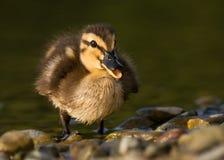 鸭子 免版税图库摄影