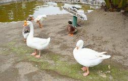 鸭子` s盐水湖 免版税库存照片