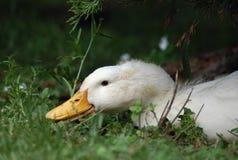 鸭子pekin 库存图片