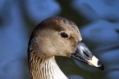 鸭子portret 库存照片