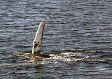 鸭脚板驼背鲸 免版税图库摄影