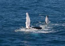 鸭脚板鲸鱼 免版税库存图片
