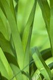 紫鸭跖草reflexa 免版税库存照片