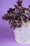 紫鸭跖草zebrina 免版税库存照片