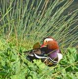 鸳鸯在沼泽 库存照片