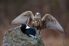 鸷与杀害的Saker猎鹰捉住鹊坐与开放翼的石头 免版税库存图片
