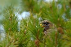 鸷共同的肉食,鵟鸟鵟鸟,掩藏在具球果杉树分支 在黑暗的森林野生生物的树掩藏的鸟 库存图片
