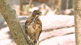 鸷在树枝关闭的猎鹰 在狂放的自然的掠食性鸟 鸟类学,鸟的监视人,动物学概念 影视素材