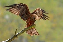 鸷在树枝的 黑鸢, Milvus migrans,棕色与开放翼的鸟坐的落叶松属树分支 在na的动物 免版税库存图片