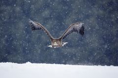 鸷在背景中白盯梢了老鹰, Haliaeetus albicilla,飞行与雪剥落,黑暗的森林 与雪花的老鹰 Wi 免版税图库摄影