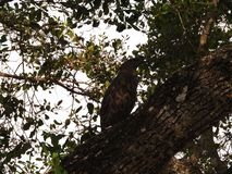 鸷坐分支和神色  斯里兰卡,野生动物在宇陀市Walawe 免版税图库摄影