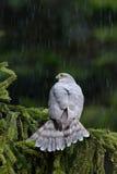 鸷欧亚sparrowhawk,鹰类nisus,坐云杉的树在大雨期间在森林里 免版税图库摄影