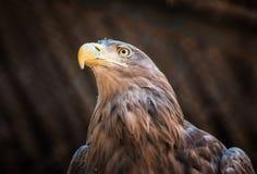 鸷白盯梢了老鹰坐树 免版税库存图片