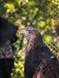 鸷白盯梢了老鹰坐树 图库摄影