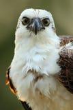 鸷白鹭的羽毛, Pandion haliaetus,哺养的抓住鱼,伯利兹 详述白鹭的羽毛面孔画象在晚上光的 鸟大眼睛, 库存图片