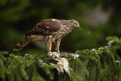 鸷苍鹰,鹰类gentilis,哺养的绿色白发啄木鸟坐云杉的树在森林里 图库摄影