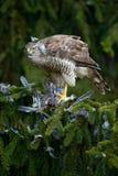 鸷苍鹰绿色spurce树的杀害欧洲人杰伊 库存照片