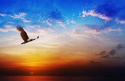 鸷- Brahminy在美丽的日落backgrou的风筝飞行 库存照片