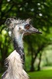 鸸大草原鸟外形画象垂直的头关闭 免版税库存图片