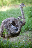 鸸或驼鸟 免版税图库摄影