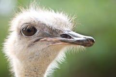 鸸通配驼鸟的纵向 免版税库存图片