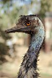 鸸鸟的面孔的细节 免版税库存图片