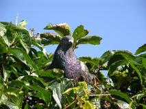 鸽子、叶子和蓝天 免版税库存照片